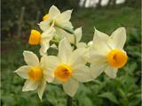 عکس پروفایل گل نرگس زیبا