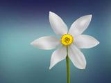 شاخه گل نرگس زیبای سفید