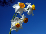 عکس گل نرگس بسیار زیبا