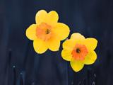 والپیپر شاخه گلهای نرگس زرد