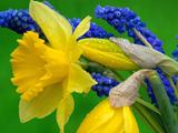 والپیپر جدید گل نرجس زرد