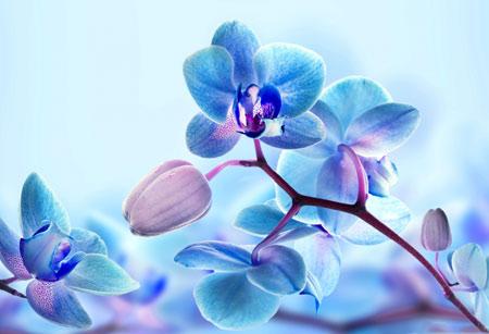 پس زمینه گل ارکیده آبی blue orchid wallpaper