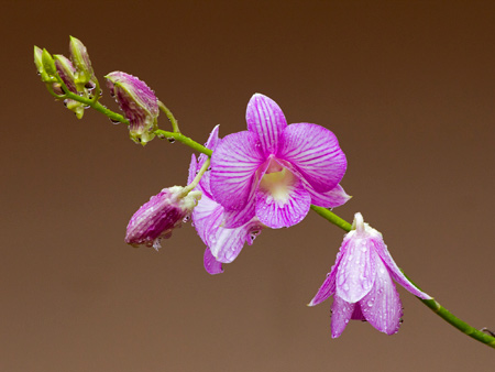 عکس گلبرگ گل ارکیده orchid flower drops