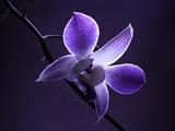 گل ارکیده آبی بنفش