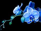گل ارکیده آبی فیروزه ای