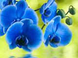 عکس گل ارکیده آبی زیبا