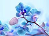 پس زمینه گل ارکیده آبی