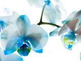 گل ارکیده آبی و سفید