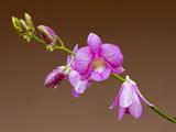 عکس گلبرگ گل ارکیده