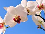 گل ارکیده سفید با زمینه آبی