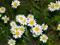 گلهای مینا زیبا