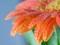 عکس گل نارنجی بسیار زیبا