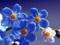 گل های آبی بسیار زیبا