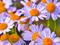 زیباترین عکس گلهای بابونه