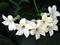 گل یاسمن سفید