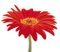 تک تشاخه گل قرمز