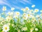 گل های بهاری سفید
