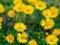 والپیپر گل های زرد