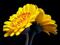 پوستر بزرگ گل های زرد