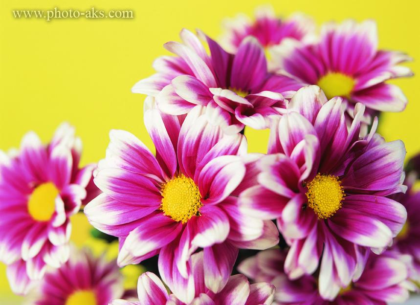 عکس گلهای خوشگل دو رنگ بنفش و سفید بسیار زیبا