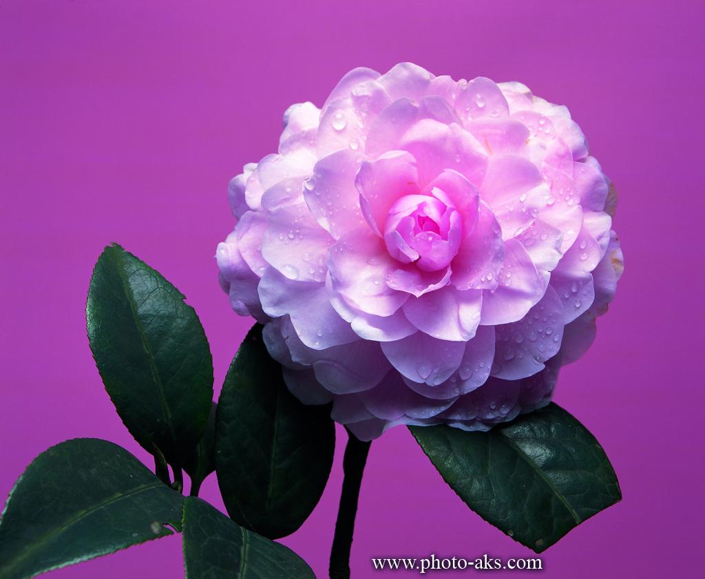 عکس خوشگل گل مریم