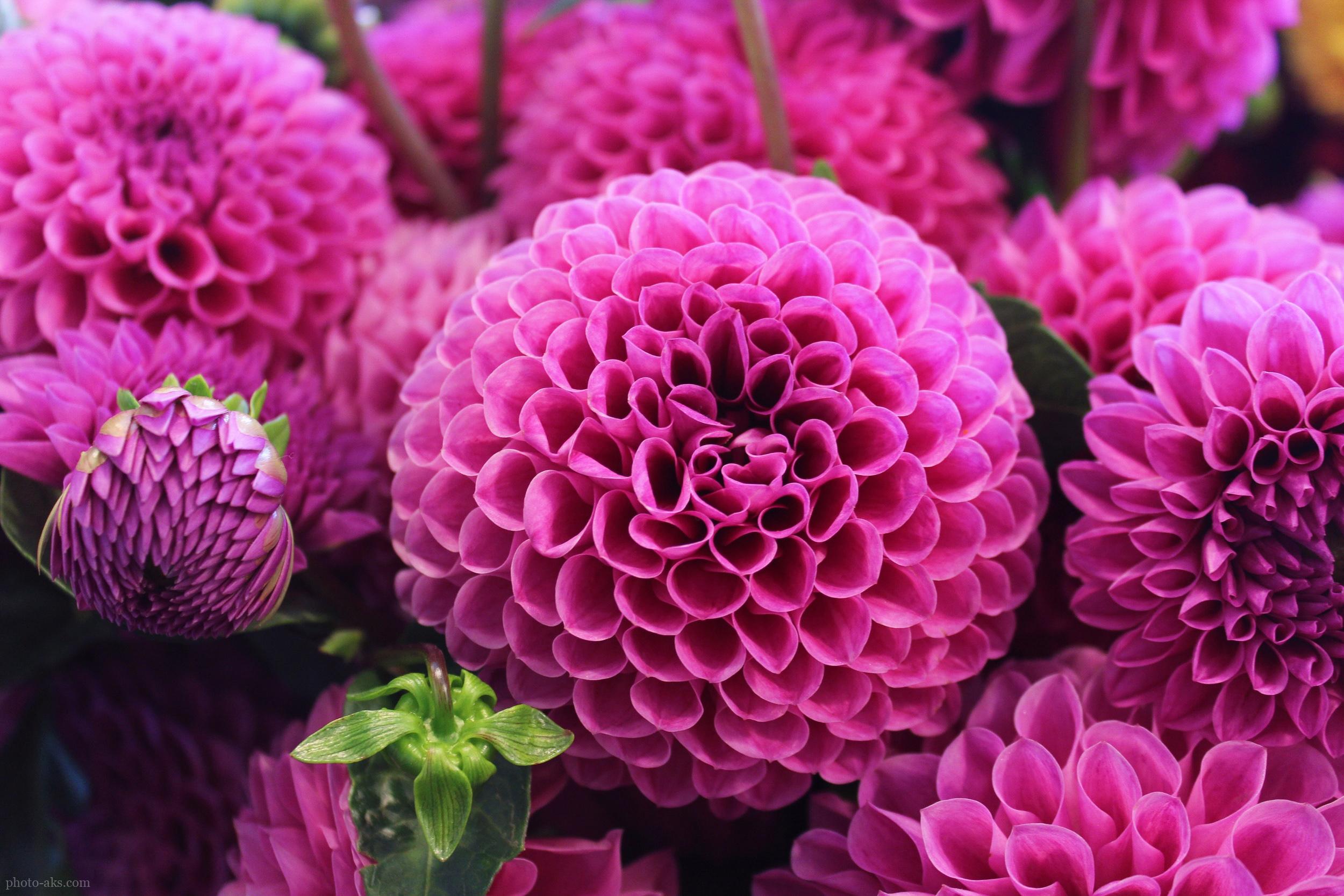 گالری عکس زیباترین گلهای جهان