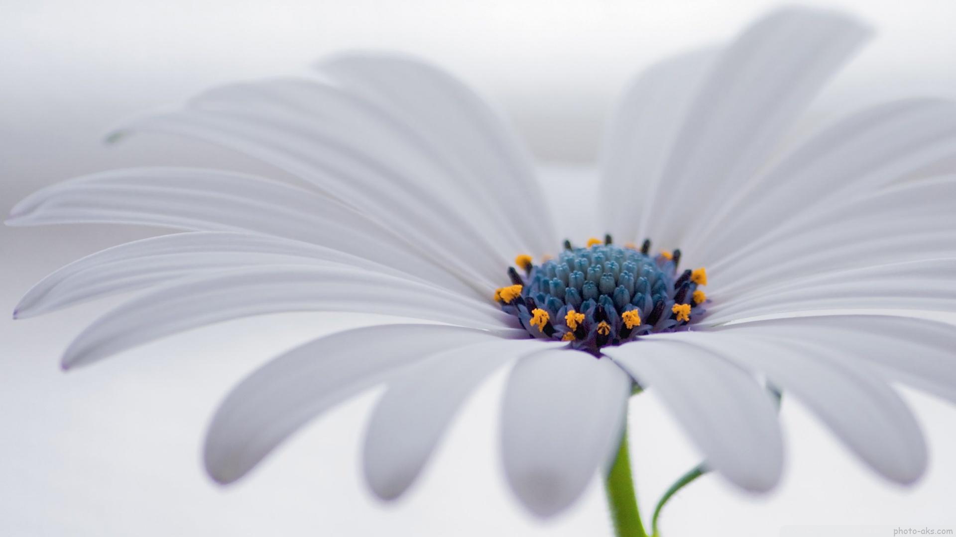 عکس+گل+همیشه+بهار