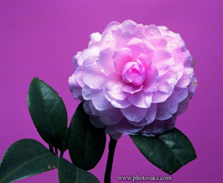 فلاویر پیکچر Flower picture pink color