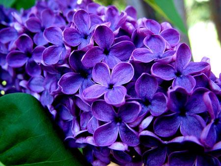 عکس گلهای یاس نیلی lilac flowers beautiful