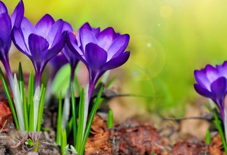 گل زیبای نیلی رنگ زعفران saffron flower