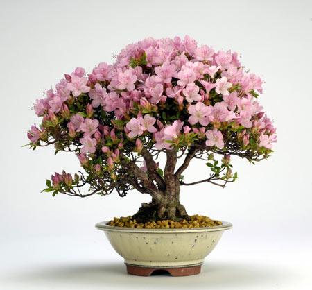گلدان گل آزالیا صورتی azalea bonsai tree