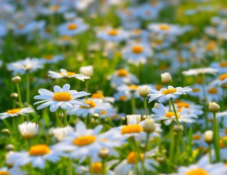 پوستر زیبا از دشت گلهای بابونه beautiful daisies flowers