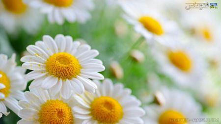 پس زمینه زیبای گل flower wallpapr
