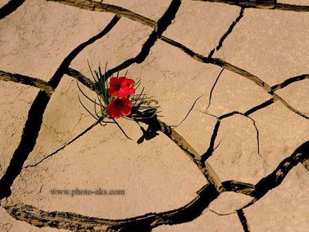 گل در بیابان خشکیده biyaban gole germez