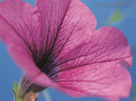 عکس گل بنفش بزرگ pink flower