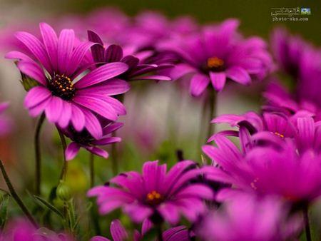 زیباترین گل های بنفش violet flowers wallpaper