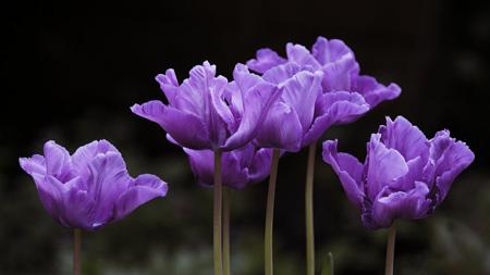 تصاویر گلهای بهاری بنفش زیبا violet flowers spring
