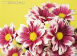 گل خوشگل دو رنگ