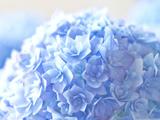 گل ادریسی فیروزه ای زیبا