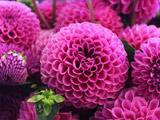 والپیپر زیبا از گلهای زیبای ارغوانی