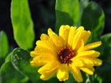 تصویر زیبای گل زرد با قطرات باران