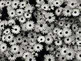 عکس گلهای سیاه و سفید