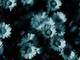 عکس زیبا از گلهای بابونه