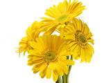 عکس گلهای زرد ژربرا با زمینه سفید