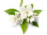 عکس پروفایل گل یاسمن سفید