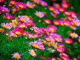 گلهای بهار صورتی در طبیعت
