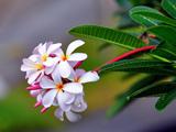 عکس گل زیبای پلومریا