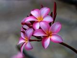 گل زیبای پلومریا یا فرانگی پانی
