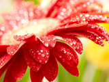 گل قرمز خوشگل