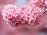 شکوفه صورتی بهاری درخت گیلاس